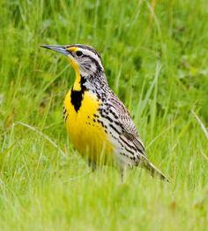 Nebraska's state bird ~ Western Meadowlock