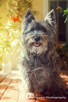 Cairn Terrier by consuelo Cairn Terrier Puppies, Terrier Breeds, Dog Breeds, I Love Dogs, Cute Dogs, Norwich Terrier, Little Dogs, Yorkshire Terrier, Beautiful Dogs