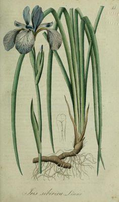 Iris sibirica (Iris, Siberian flag). Plate from 'Flora Regni Borussici.' Published 1833 by Verlag von Ludwig Ochmigke