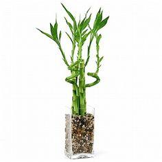 Lucky Bamboo Arrangement - Natural Glass