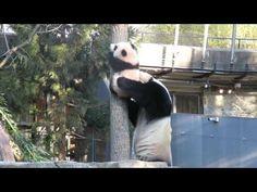 Giant panda Mei Xiang rescues Bei Bei - YouTube