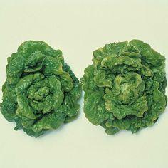 Lettuce 'Tom Thumb' (Butterhead) - Salad Seeds - Thompson & Morgan