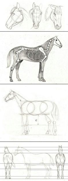 Anatomy Drawing Tutorial How to draw a horse: Horse Drawings, Animal Drawings, Pencil Drawings, Art Drawings, Drawing Animals, Drawing Lessons, Drawing Techniques, Drawing Tips, Horse Drawing Tutorial