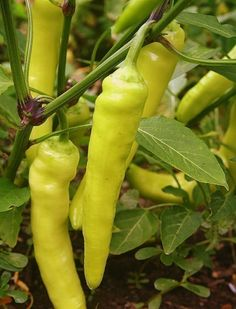 Heirloom Sweet Banana Pepper Seeds. $1.50, via Etsy.