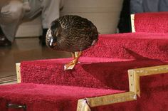 Every day a troupe of pampered water fowl walk the red carpet to their favorite fountain.