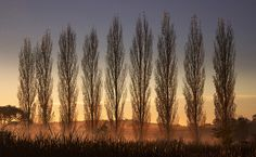 Poplars in Birrangulla Emergency Response, No Response, Country, Travel, Viajes, Rural Area, Country Music, Trips, Traveling