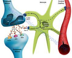 diagrammatic representation of the glutamate-glutamine cycle in the brain