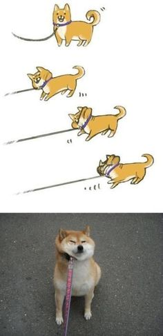 Funny pictures about This Shiba doesn't like to use a leash. Oh, and cool pics about This Shiba doesn't like to use a leash. Also, This Shiba doesn't like to use a leash. Japanese Akita, Japanese Dogs, Animals And Pets, Funny Animals, Cute Animals, Shiba Inu, Kawaii, I Love Dogs, Cute Dogs