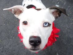 TO BE DESTROYED 8/5/14 Manhattan Center   My name is CHLOE. My Animal ID # is A1007710. I am a female white and black pit bull mix. The shelter thinks I am about 3 YEARS old.  I came in the shelter as a OWNER SUR on 07/22/2014 from NY 10034, owner surrender reason stated was NEW BABY.  https://www.facebook.com/Urgentdeathrowdogs/photos/a.611290788883804.1073741851.152876678058553/845237382155809/?type=3&theater