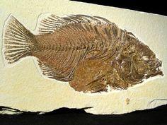 Fossile - priscacara serrata - Ancient Fish, Fish Fossil, Vintage Menu, Agates, Minerals And Gemstones, Ammonite, Sea Creatures, Flower Patterns, Evolution