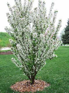 Adirondack The relatively upright form of Adirondack makes it a great choice for small, narrow spaces in the landscape, as a hedge or an espalier. The tree . Crabapple Tree, Plants, Lawn And Garden, Garden Shrubs, Shrubs, Deciduous Trees, Trees For Front Yard, Flowering Trees, Rose Trees