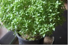 20 Unusual Uses For Everyday Herbs - From Keeping Mice Away to Treating the Common Cold
