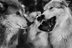 Wolves are my fave! They are so pretty and social. They mate for life and I just love that!