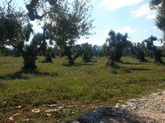 fields of olivetrees #beautiful #old #olivetrees #Puglia #Italy