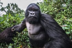 These incredible pictures show the moment a lairy gorilla PUNCHED a photographer in a drunken rage. Unlucky wildlife photographer Christophe Courteau, 46, was taking snaps of a group of silverback gorillas in the forest of the Volcanoes National Park, in Rwanda, when the alpha male of the family began to charge at him unexpectedly. In a scene reminiscent of a bar brawl, the 250kg mountain gorilla, named Akarevuro, appears to clench his fist tightly before tackling the photographer in a…