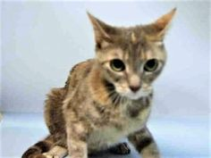 *** TO BE DESTROYED 06/10/17 *** JAB JAB was left at the shelter when owner moved and she needs a new home. Jab Jab may be best as an only kitty.