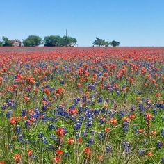 Texas blue bonnets and Indian paintbrushes in the spring #bluebonnets #texas