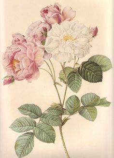 Vintage Flower Print, Large Rose Botanical