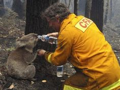a firefighter helps out a parched koala