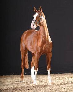 Providence - A chestnut Hanoverian horse, a winning show jumper.