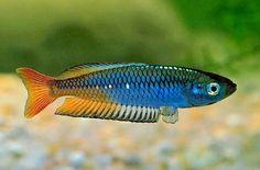 Rhadinocentrus ornatus, Ornate Rainbowfish Ornate rainbowfish (Rhadinocentrus ornatus). Soft acidic water rainbow. 6 cm.