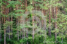Download Beautiful Green Pine Forest Scene Stock Photos for free or as low as 0.68 lei. New users enjoy 60% OFF. 22,152,704 high-resolution stock photos and vector illustrations. Image: 38690253
