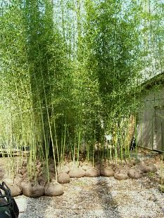 PHYLLOSTACHYS BISSETII BAMBOO, CAN WITHSTAND IL WINTERS
