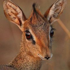 (100) Wild for Wildlife and Nature.  Dik-dik from Africa weighs 7-16 lbs
