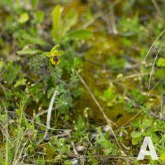 Ophrys Lutea Minor