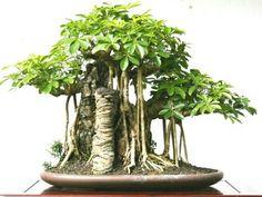 schefflera bonsai i think i m in love now if only i had the rh pinterest com Schefflera Umbrella Tree Schefflera Tree