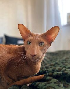 Oriental Shorthair is an adorable creature with a very atypical, but exciting appearance. We suggest you learn more about this breed. Funny Cute Cats, Cute Baby Cats, Funny Kittens, Adorable Kittens, I Love Cats, Cool Cats, Chat Oriental, Cats And Kittens, Ragdoll Kittens