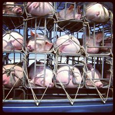 Poor pigs in prison Travel Around The World, Around The Worlds, Pigs, Prison, Pictures, Photos, Photo Illustration, Resim, Piglets