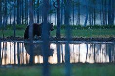 Brown bear in Taiga forest. Photo: Taro Syväpuro