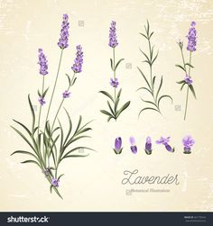 stock-vector-vintage-set-of-lavender-flowers-elements-botanical-illustration-lavender-hand-drawn-watercolor-361770524.jpg (1500×1600)