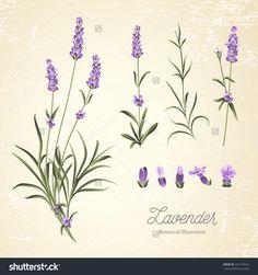 stock-vector-vintage-set-of-lavender-flowers-elements-botanical-illustration-lavender-hand-drawn-watercolor-361770524.jpg (1500×1600)