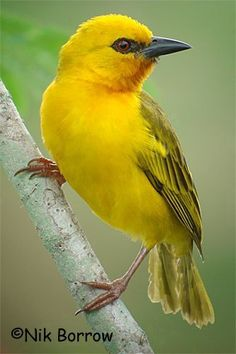 Male Yellow-crowned Bishop Bird