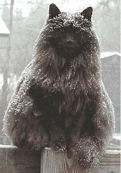 """Epic winter cat - Pixdaus"" I suspect this might be a Weegie (Norwegian Forest Cat). If so, he's probably perfectly happy like this...."