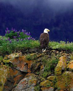 Christine Haines - Bald Eagle | Flickr - Photo Sharing!