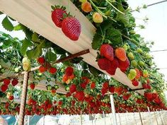 Growing Strawberries In Rain Gutter Planters