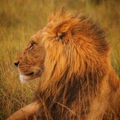 Majestic lion. Let us make your African Safari, so awesome !!! :) www.AfricaSafari.IN