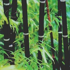 to Care For Bamboo Plants Phyllostachys nigra (Black Bamboo). Expected Height: 20 to 35 feet Diameter: inchesPhyllostachys nigra (Black Bamboo). Expected Height: 20 to 35 feet Diameter: inches Black Bamboo Plant, Bamboo Plant Care, Phyllostachys Nigra, Bamboo Landscape, Bamboo Seeds, Growing Bamboo, Balinese Garden, Architectural Plants, Gothic Garden