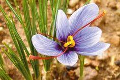 la flor del romero -
