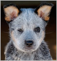 Australian Cattledog or Blue Heeler