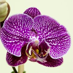 Moth Orchid   (Phalaenopsis)    Phalaenopsis is a tropical orchid with thick, broad, leathery leaves. It bears 3 to 6 inch wide flowers in white, cream, pale yellow, or light lavender pink.