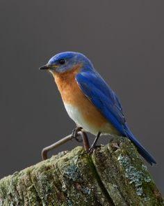 Bluebird of Happiness - by Tim McIntyre/aka Bird Nerd Nature Photography