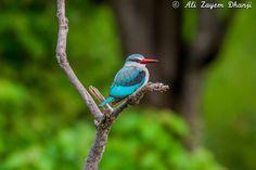 Woodland Kingfisher - Taken at Okavango Delta in Botswana