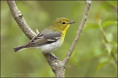 yellow-throated vireo - Google Search