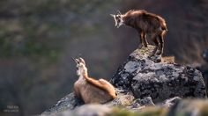 Chamois at sunset by Tobias Kuhl on 500px