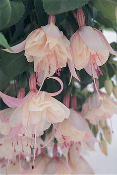 Fuchsia Trailing Happy Wedding Day Plants - Large fully double flowers open from white buds and are white flushed with palest pink and very fine red stripes Exotic Flowers, Amazing Flowers, Pink Flowers, Beautiful Flowers, Trailing Flowers, Pink Hydrangea, Happy Wedding Day, Garden Inspiration, Garden Plants
