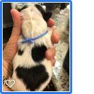 Litter of 7 Japanese Chin puppies for sale in SALEM, OR. ADN-58923 on PuppyFinder.com Gender: Male. Age: Under 1 Week Old